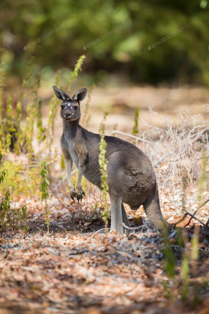 One kangaroo