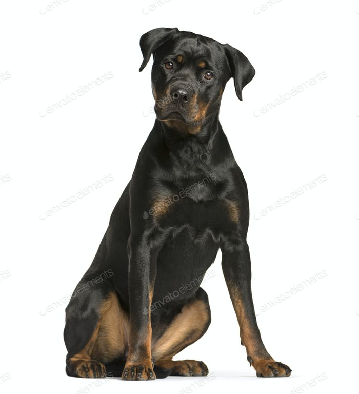 rottweiler dog, guard dog sitting and looking at the camera, isolated on white