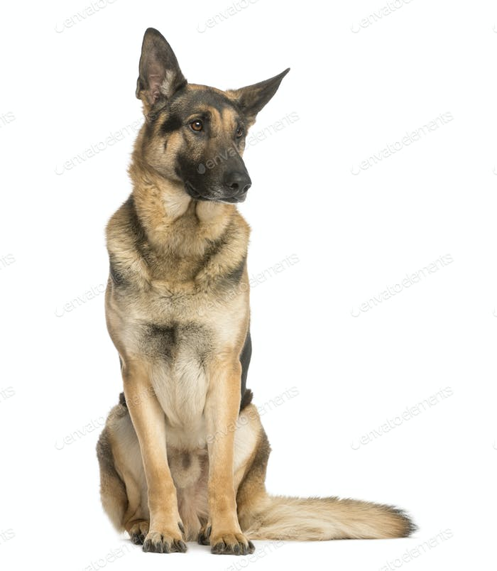 German shepherd sitting and looking away, 4,5 years old, isolated on white