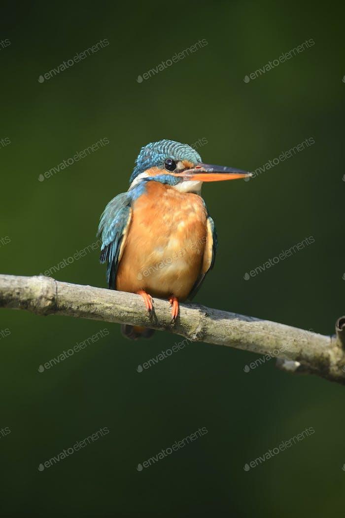 Blauer Eisvogel