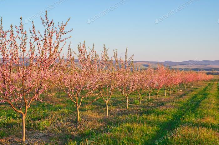 Spring of peach garden.