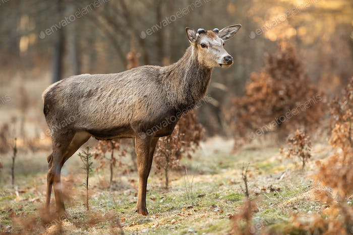 Red deer stag with new antlers growing standing on a glade in springtime forest