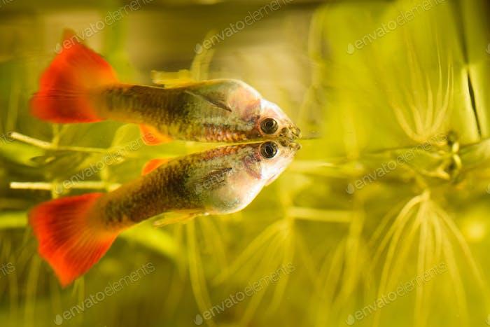 Female Guppy Poecilia reticulata colorful rainbow tropical aquarium fish