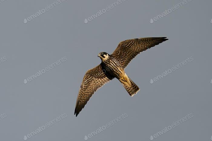 Eurasian hobby (Falco subbuteo) in flight in its natural enviroment in Denmark