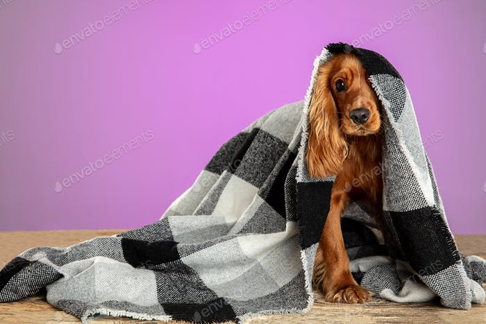 Studio shot of english cocker spaniel dog isolated on purple studio background