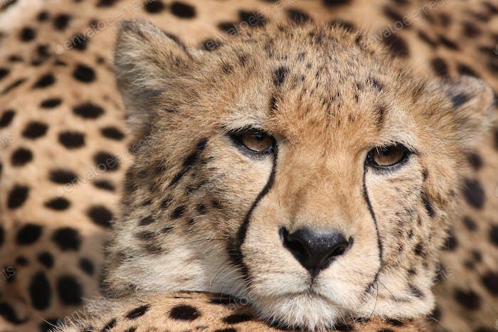 Cheetah (Acinonyx jubatus) stalking