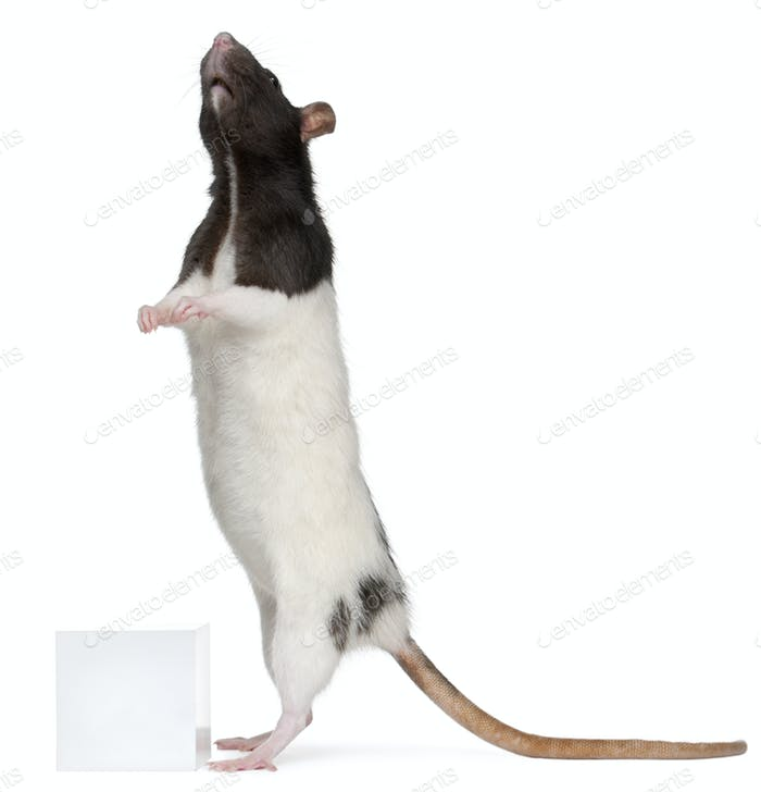 Fancy Rat, 1 year old, standing in front of white background