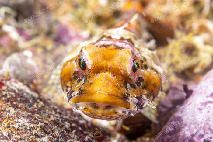 Coralline Sculpin in Channel Islands