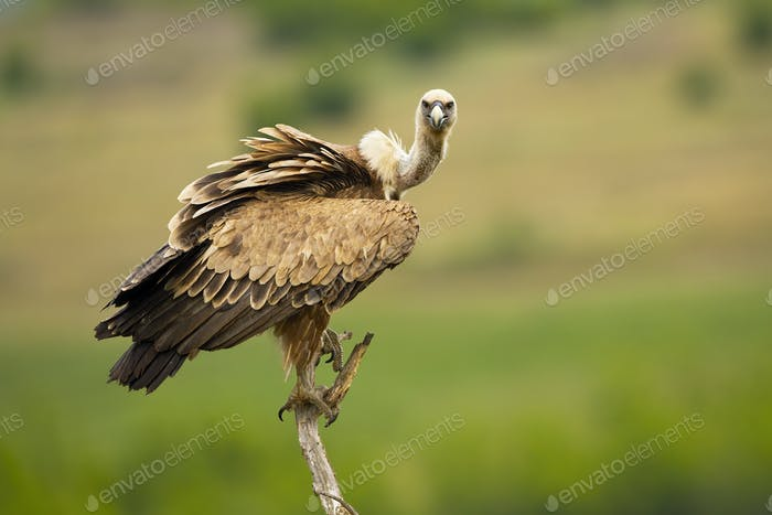 Griffon vulture looking to camera in open country with copy space