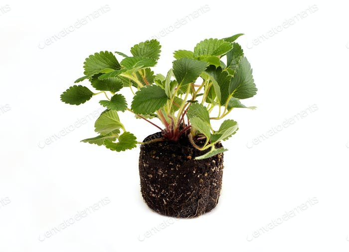 Strawberry leafs on white background