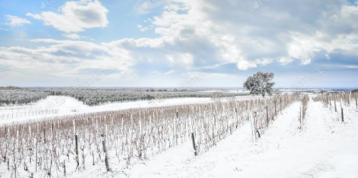 Bolgheri Weinberge Reihen von Schnee im Winter bedeckt. Castagneto Carducci, Italien