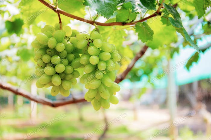 White grapes growing in vineyard