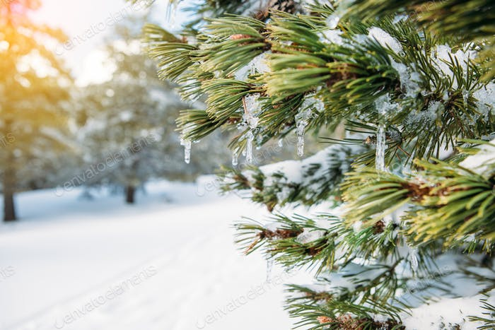 Iced water drop in a fir branch