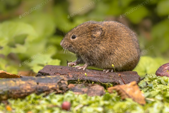 Field vole natural environment