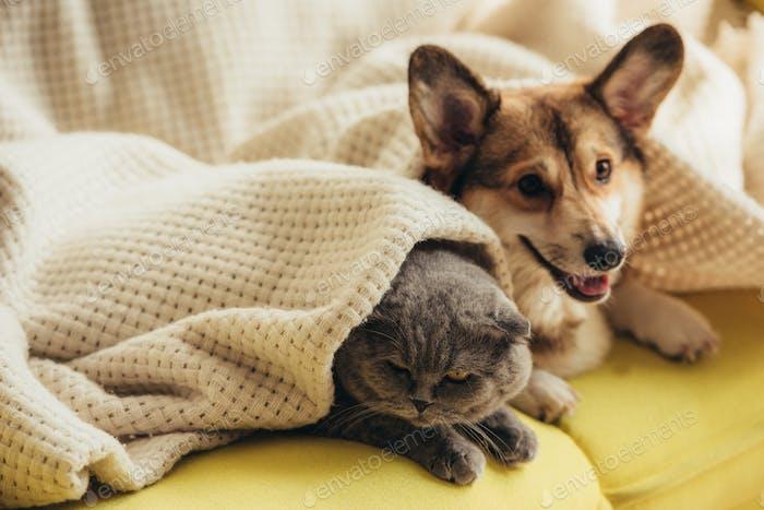 funny scottish fold cat and welsh corgi dog lying under blanket on sofa