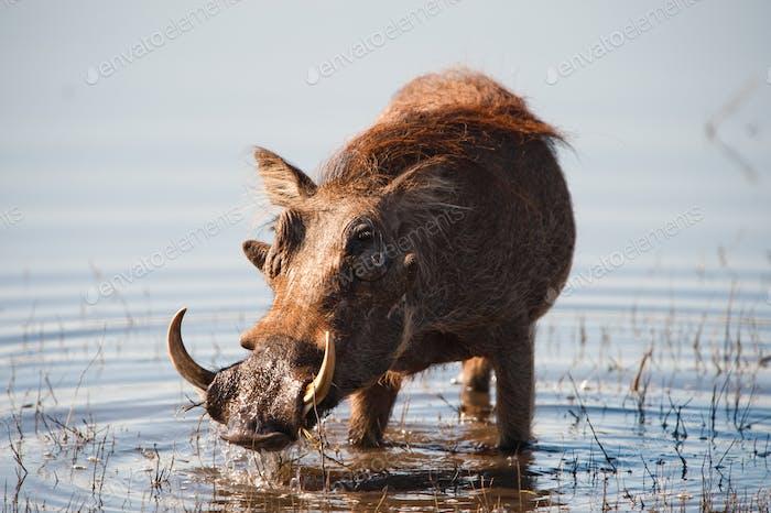 Brown hairy warthog