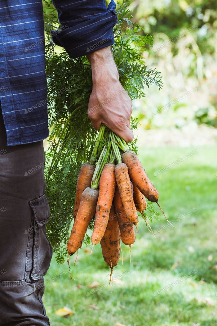 Farmer with newly picked carrots