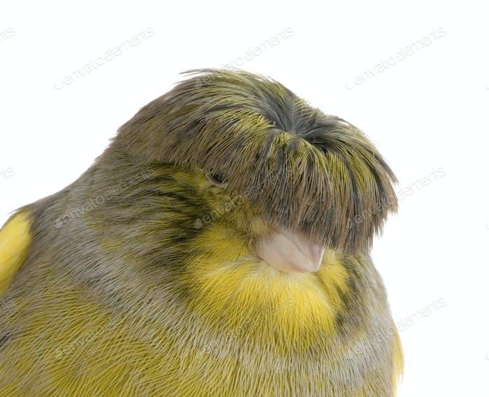 Canary gloster Corona