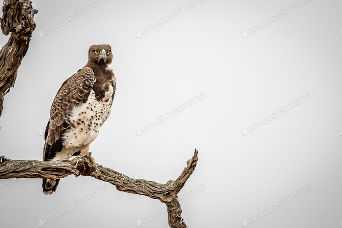 Martial eagle sitting on a branch.