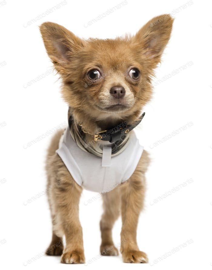 Dressed up Chihuahua puppy standing, 4 months old, isolated on white