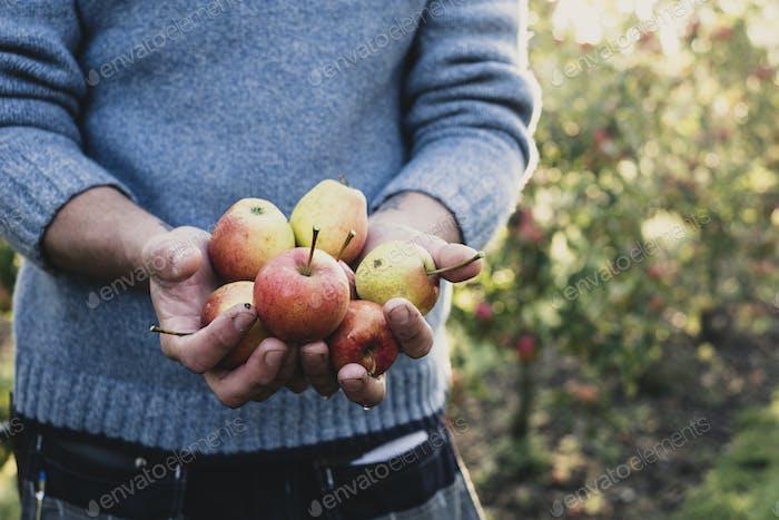 Nahaufnahme des Mannes, der in Apfelgarten steht, hält frisch gepflückte Äpfel. Apfelernte im Herbst.