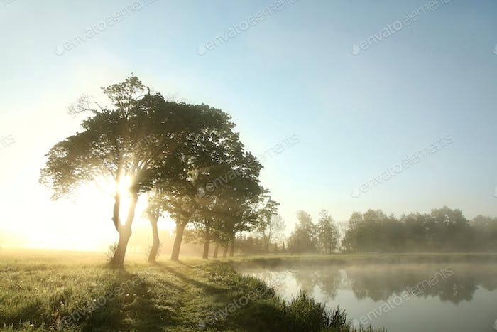 Maple trees on a meadow at sunrise
