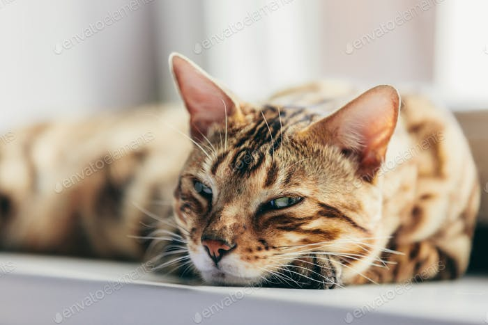Bengal cat resting and relaxing while lying on a window sill at home