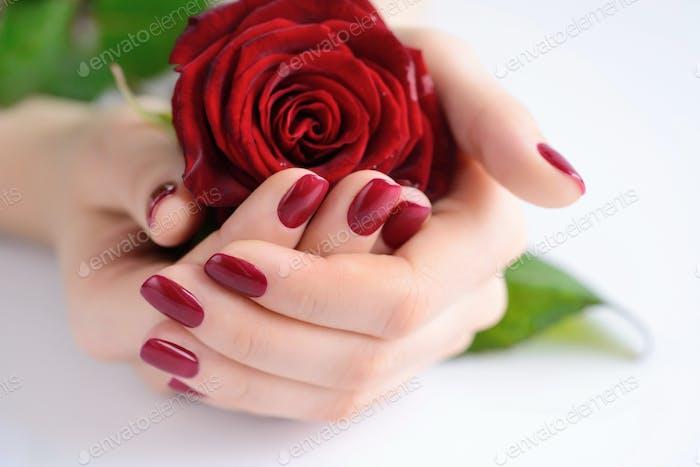Hände einer Frau mit dunkelroter Maniküre mit roter Rose