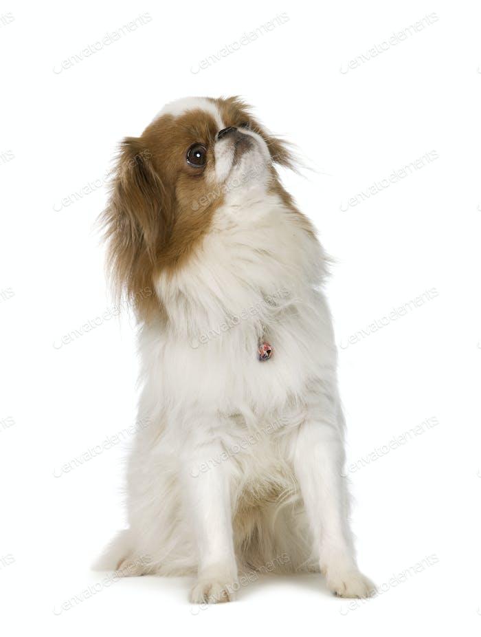 Japanischer Kinnhund