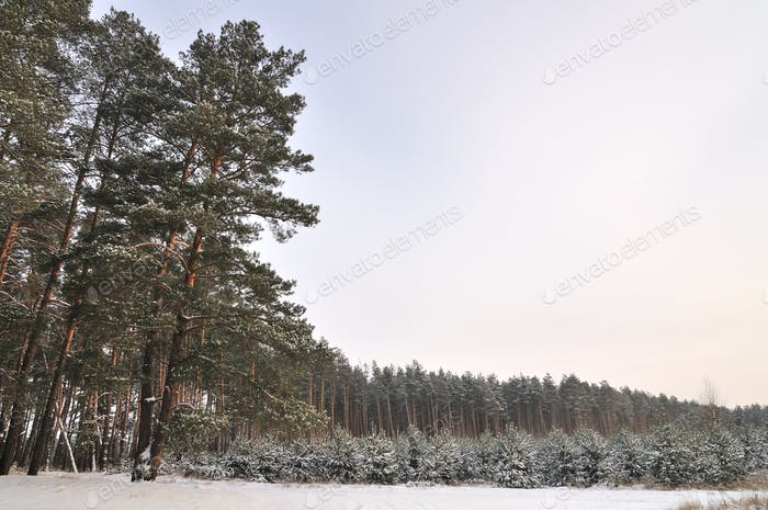Small fluffy snowy fir trees grow in a nursery