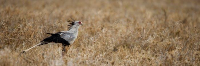 Side view of Secretary bird, Serengeti National Park, Serengeti, Tanzania, Africa