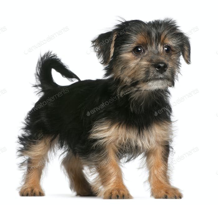 Yorkshire Terrier puppy, 3 months old, standing in front of white background