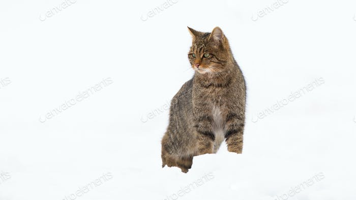 Proud european wildcat standing on snow in winter