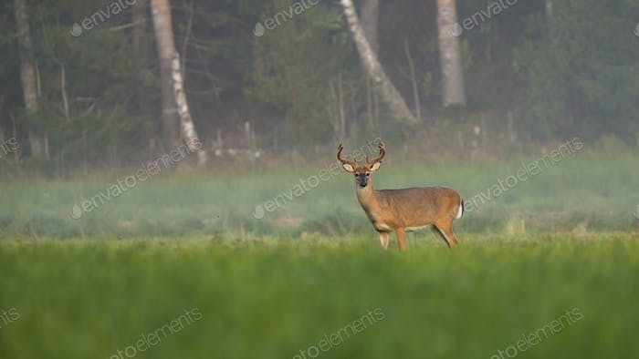 Alert white-tailed deer stag looking on meadow in summer nature with copy space