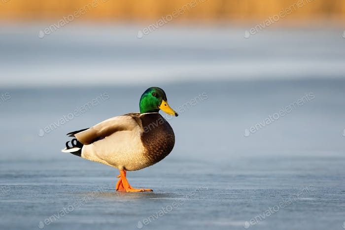 Curious male wild duck standing on frosty pond in wintertime with copy space