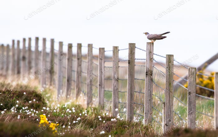 Common Cuckoo on a Fence in Scotland