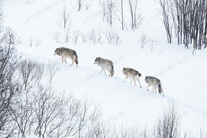 Wolfsrudel läuft in der kalten Landschaft