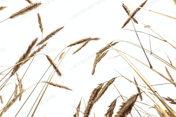 Wheat stems isolated