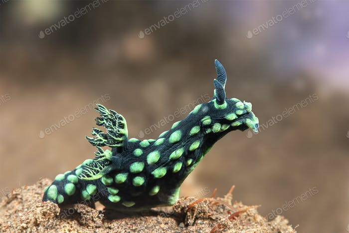 Grüner Nudibranch in Bali