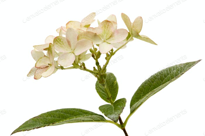 Inflorescence of hydrangea, lat. Hydrangea paniculata, isolated