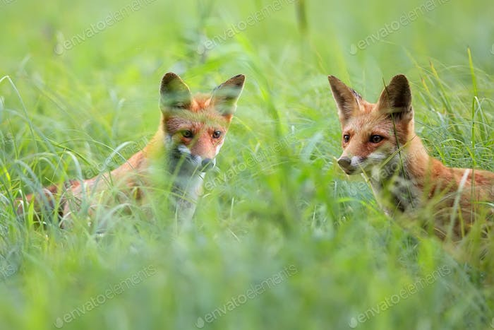 Foxes in a clearing