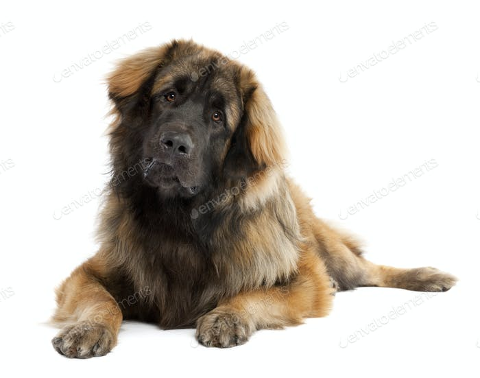 Thumbnail for Leonberger (10 months old)