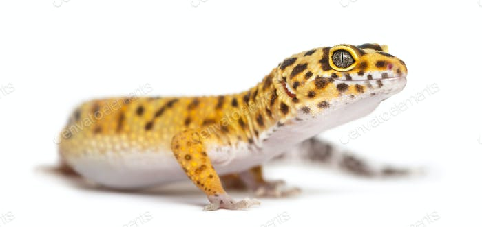 Leopard gecko standing, isolated on white