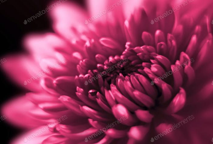 Nahaufnahme von Chrysantheme
