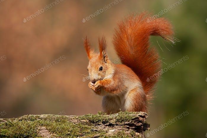 Eurasisches rotes Eichhörnchen, Sciurus vulgaris, im Herbst Wald im warmen Licht
