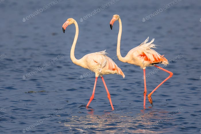 Two Flamingos walking