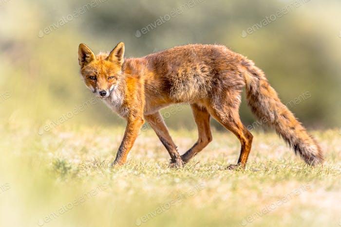 Red Fox sneaky walking