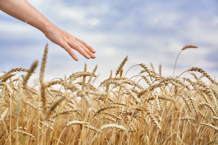 Hand berühren goldenen Weizen