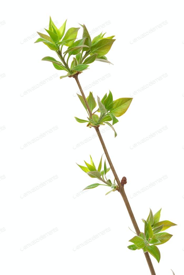 Zweig lila Baum mit Frühlingsknospen isoliert auf weiß