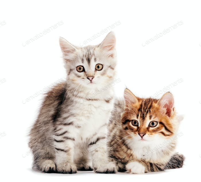 Gatos siberianos, dos gatitos de la misma camada aislada en blanco